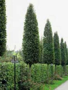 Laubbaum für Vorgarten gesucht – was können Sie empfehlen?