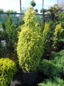 Juniperus communis 'Gold Cone' / goldene Heidewacholder - für eine schmale Hecke geeignet
