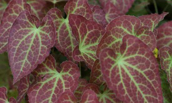 Epimedium perralchicum 'Frohnleiten' / Frohnleiten-Garten-Elfenblume - bildet eine schöne Grünfläche unter einer Schwarzkiefer