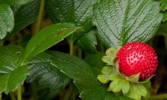 Fragaria chiloensis 'Chaval' / Teppich-Erdbeere - ein sehr robuster und schöner Bodendecker für sonnige Standorte
