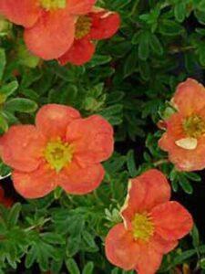 Fünffingerstrauch 'Red Ace' - begeistert im Zeitraum von Juni bis Oktober mit orangeroten Blüten