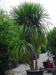 Cordyline australis / Keulenlilie