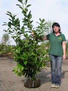 Kirschlorbeer als Ballenware - hier Prunus laurocerasus 'Novita' / Kirschlorbeer 'Novita' - muss nach dem Pflanzen zurückgeschnitten werden