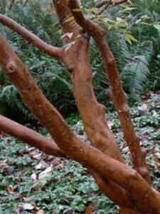 : Stewartia pseudocamellia / Japanische Scheinkamelie / Sommerkamelie
