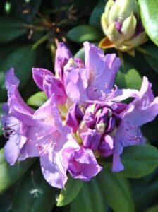 Rhododendron Hybride 'INKARHO Catawbiense Boursault' / Rhododendron 'INKARHO Catawbiense Boursault'