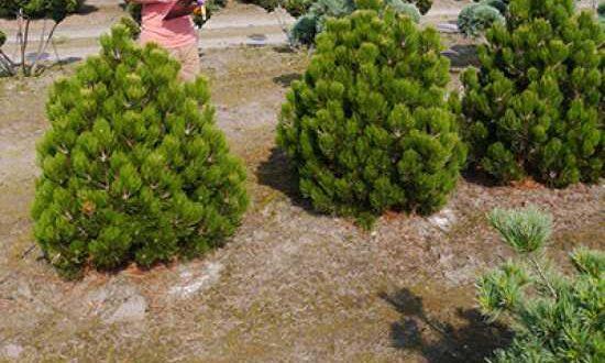 Pinus leucodermis 'Compact Gem' / Zwerg-Schlangenhaut-Kiefer / Bosnische Kiefer - das Pinzieren ist sinnvoll