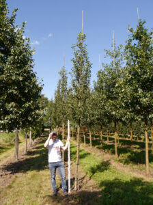 Amelanchier alnifolia 'Obelisk' - ein schöner Säulenbaum, der auch Sichtschutz bietet