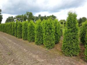 huja occidentalis 'Columna' / Säulen-Lebensbaum / Lebensbaum 'Columna'