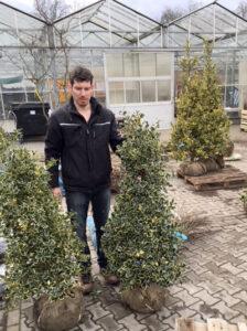 Ilex aquifolium 'Argentea Marginata' / weißbunte Gartenhülse - gut als immergrüne Kübelpflanze geeignet
