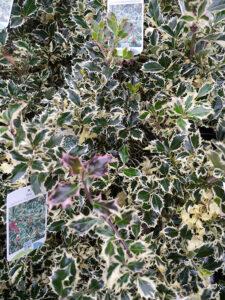 Ilex aqu. 'Argentea Marginata' / Weißbunte Stechpalme 'Argentea Marginata' - eignet sich als Kübelpflanze für die Dachterrasse