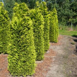 Chamaecyparis lawsoniana 'Ivonne' / Gelbe Scheinzypresse 'Ivonne - eignet sich gut für eine Mischhecke