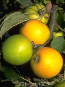 Malus domestica 'Ananasrenette' / Apfel 'Ananasrenette'