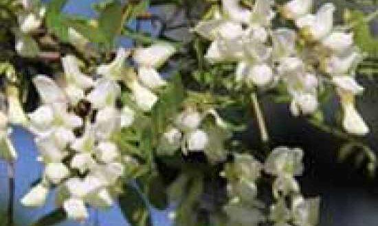 Robinia pseudoacacia 'Appalachia' / Robinie 'Appalachia' / Scheinakazie 'Appalachia' - eine gute Nahrungsquelle für Bienen