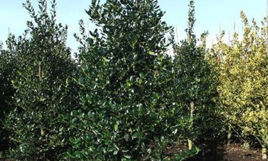 Ilex aquifolium 'Alaska' / Stechpalme 200-250 cm Solitär mit Drahtballierung