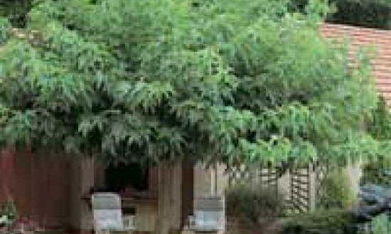 Morus alba 'platanifolia' / Platanenblättriger Maulbeerbaum