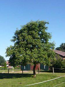 Walnussbäume, wie hier die Juglans regia / Gemeine Walnuss / Edelnuss, wachsen zu prachtvollen Bäumen heran