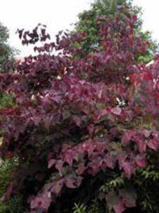Cercis canadensis 'Forest Pansy' / Amerikanischer Judasbaum 'Forest Pansy' - Geranium eignet sich gut als Unterpflanzung