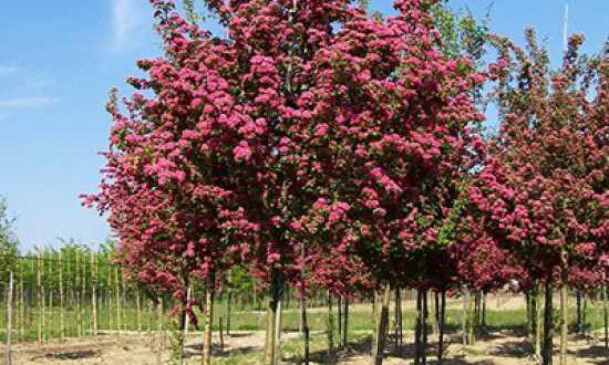 Crataegus laevigata 'Paul's Scarlet' / Echter Rotdorn - ein sehr schönes Laubgehölz