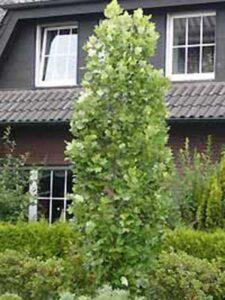 Liriodendron tulipifera 'Fastigiatum' / Säulen-Tulpenbaum
