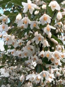 Styrax japonicus 'Evening Light' / Japanischer Storaxbaum 'Evening Light'