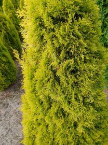 Thuja occidentalis 'Golden Smaragd' / Lebensbaum 'Golden Smaragd'