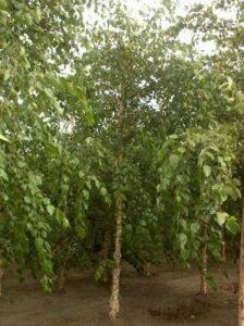 Birken können vom Birkensplintkäfer befallen werden