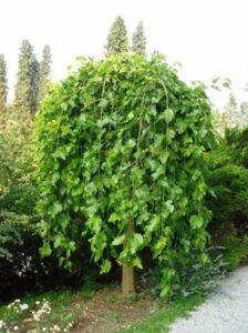 Morus alba 'Pendula' / Hängender weißer Maulbeerbaum - Früchte sind nicht immer weiß
