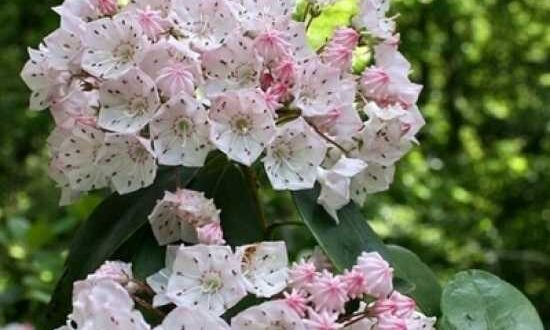 Kalmia latifolia / Breitblättrige Lorbeerrose / Großer Berglorbeer