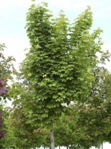 Acer platanoides 'Farlake's Green' / Spitzahorn 'Farlake's Green'