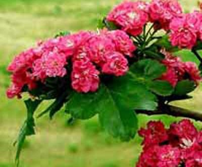 Blüte des Echten Rotdorn