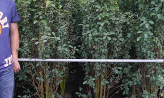 Amelanchier alnifolia 'Obelisk' / Säulen-Felsenbirne 'Obelisk' / Säulen-Saskatoonbeere