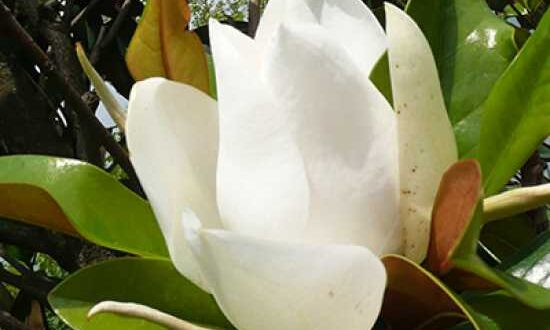 Magnolien - bei Pilzbefall hilft ein Fungizid