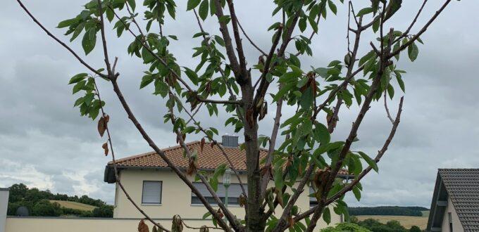 Prunus avium 'Karina' / Süßkirsche 'Karina' mit Pilzbefall