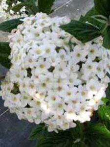 Blüte des Duft-Schneeballs