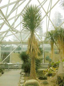 Yucca glauca / Stamm-Palmlilie