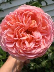 Rosa 'Abraham Darby ®' / Englische Rose 'Abraham Darby'