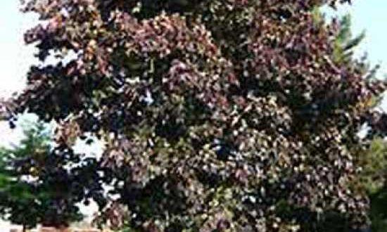 Acer platanoides 'Royal Red' / Spitz-Ahorn 'Royal Red' mit großer Krone und toller Herbstfärbung