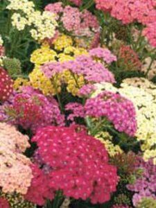 Achillea millefolium 'Summer Pastels' / Schafgarbe 'Summer Pastels'