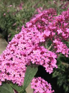Buddleja davidii 'Pink Delight' / Schmetterlingsflieder 'Pink Delight'
