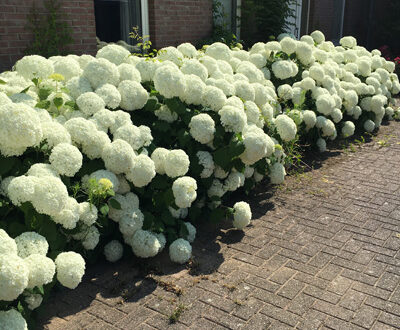 Hydrangea arborescens 'Annabelle' / Schneeball-Hortensie 'Annabelle'