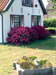 Hydrangea macrophylla 'Hot Red ®' / Bauern-Hortensie 'Hot Red'