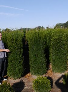 Immergrüne Gartenpflanzen gesucht, die wenig Arbeit machen