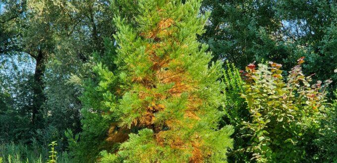 Mammutbaum mit braunen Nadeln