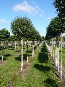 Prunus eminens 'Umbraculifera' / Prunus fruticosa 'Globosa' / Kugel-Steppen-Kirsche