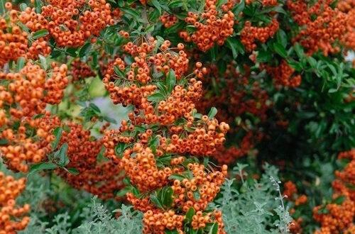 Pyracantha 'Orange Glow' / Hecken-Feuerdorn 'Orange Glow'