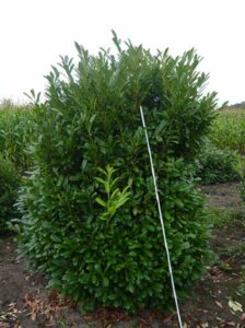 Prunus laurocerasus 'Greenpeace ®' / Immergrüne Lorbeerkirsche 'Greenpeace