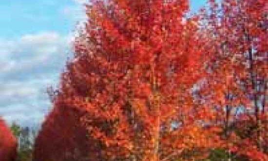Pyrus calleryana 'Redspire' / Chinesische Wild-Birne 'Redspire' mit prächtiger Herbstfärbung