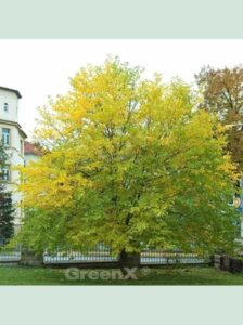 Morus alba / Weißer Maulbeerbaum