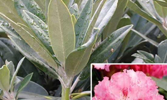 Rhododendron yakushimanum 'Arabella' / Rhododendron 'Arabella'