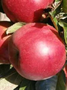 Malus domestica 'Summerred' / Apfel 'Summerred'